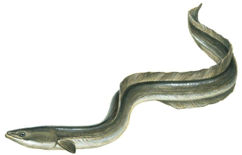 European Eel Or Elver Nat